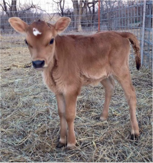registered Polled Mini Jersey heifer tiny perfect newborn calf
