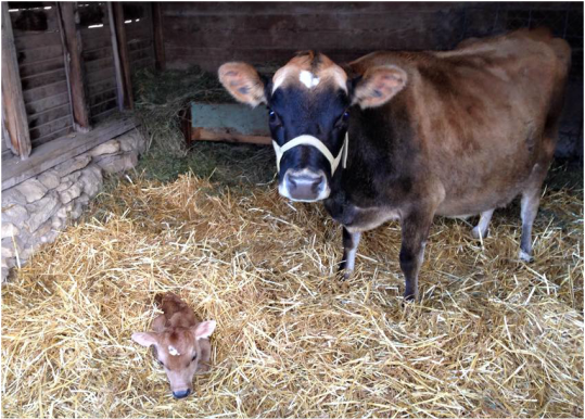 Baby dairy milk cows calved in the barn in KS in straw
