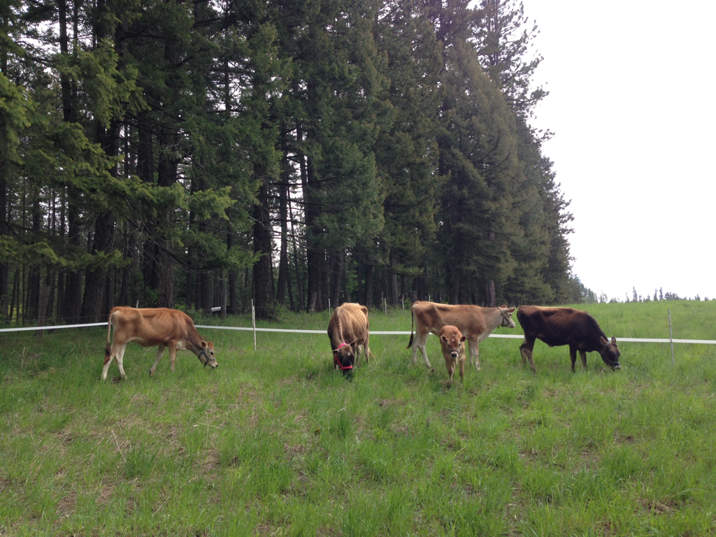 Grazing Mini and Midsize Polled A2/A2 registered Jersey dairy herd of family milk cows