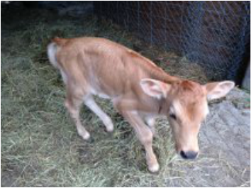Ruby Midsize Jersey heifer as a calf in the homesteading barn