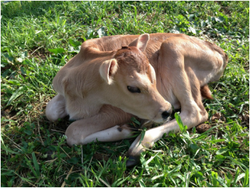 Buttermilk Jersey cow heifer calf born on Spring pasture