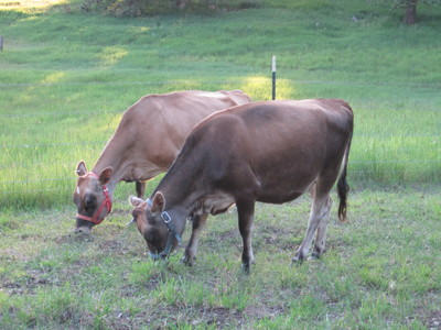 two tan and brown Miniature Jersey cows grazing in Idaho on North Woods Homestead