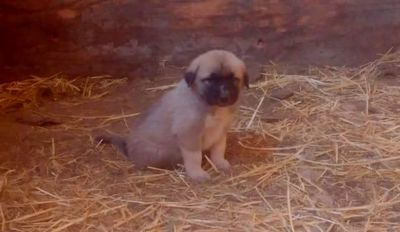 North Woods Homestead Guardian Dog Puppies for Sale